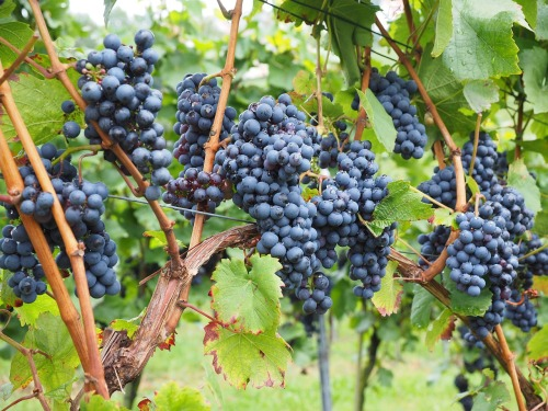grapes-694164_1280